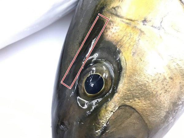 カンパチの目の上の黒い線